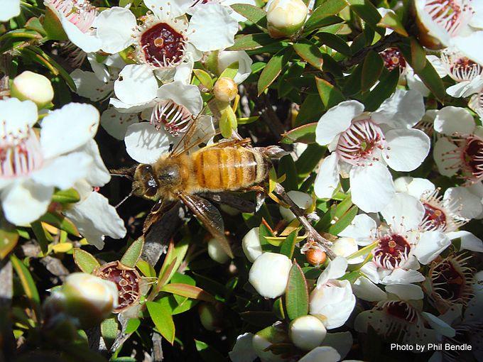 Leptospermum scoparium Manuka . 64 .JPG