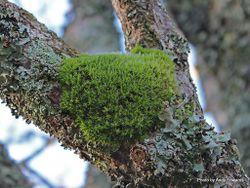 Phil Bendle Collection:Leptostomum macrocarpon (Pincushion moss)
