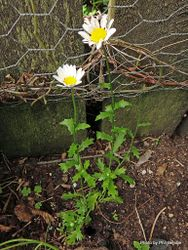 Phil Bendle Collection:Leucanthemum paludosum (Paludosum Daisy)