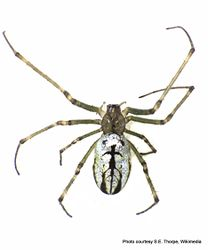 Phil Bendle Collection:Orbweb spider (Silver Orb) Leucauge dromedaria