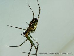 Phil Bendle Collection:Orbweb spider (Horizontal) Leucauge granulata)