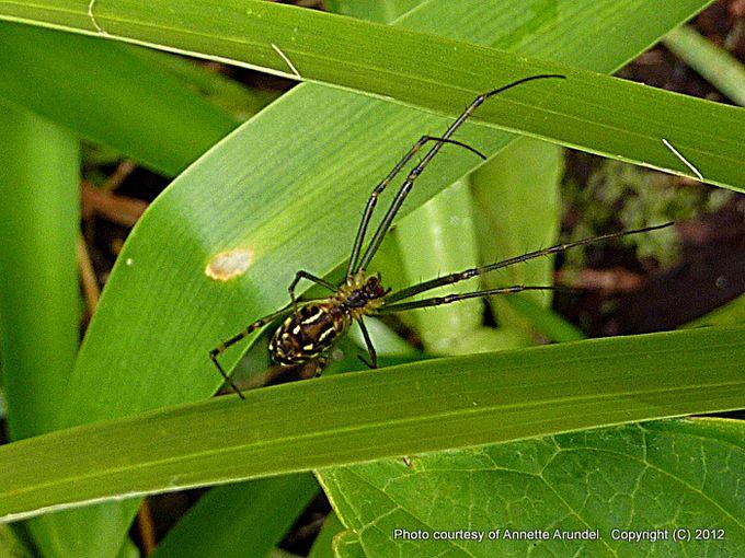 Leucauge granulata Horizontal Orb Web spider.jpg