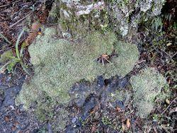 Phil Bendle Collection:Leucobryum candidum (Cushion moss)