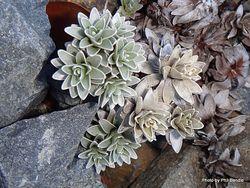 Phil Bendle Collection:Leucogenes leontopodium (North Island edelweiss)