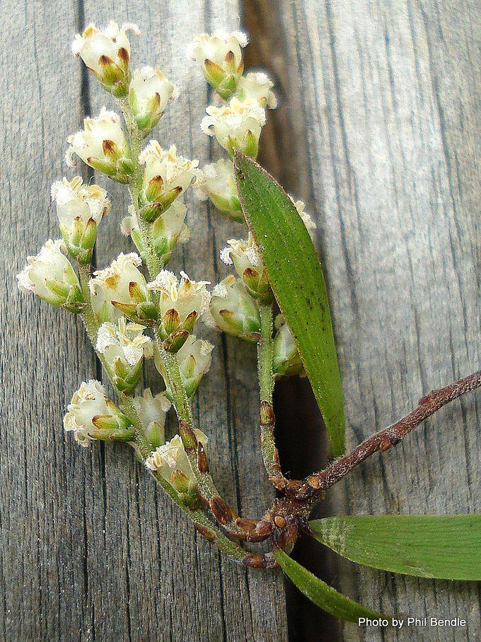 Leucopogon fasciculatus Soft Mingimingi.JPG