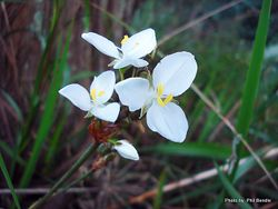 Phil Bendle Collection:Libertia grandiflora (New Zealand Iris)