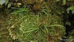 Phil Bendle Collection:Libertia macrantha (Mikoikoi)