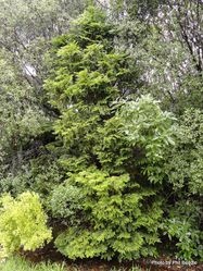 Phil Bendle Collection:Libocedrus plumose (Kawaka)