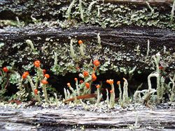 Phil Bendle Collection:Cladonia floerkeana (Devils matchstick)