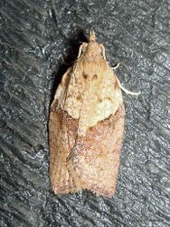 Phil Bendle Collection:Epiphyas postvittana (Light brown apple moth)