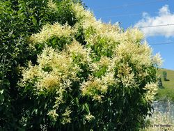 Phil Bendle Collection:Ligustrum lucidum (Tree privet)