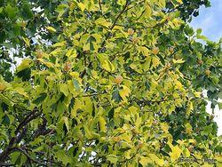 Phil Bendle Collection:Liriodendron tulipifera aureomarginatum (Variegated Tulip Tree)