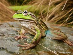 Phil Bendle Collection:Frog (Southern Bell) Litoria raniformis