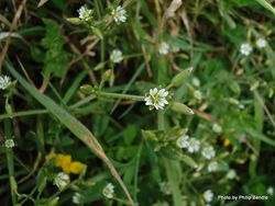 Phil Bendle Collection:Cerastium semidecandrum (Little Mouse-ear Chickweed)