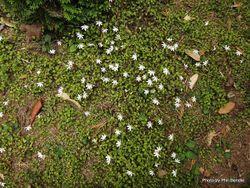 Phil Bendle Collection:Lobelia angulata (Panakenake)