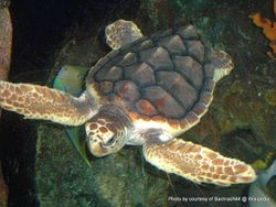 Phil Bendle Collection:Turtle (Loggerhead) Caretta caretta