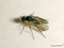 Phil Bendle Collection:Fly (Long legged) Family Dolichopodidae