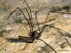 Phil Bendle Collection:Harvestmen (Megalopsalis) Long-legged harvestman