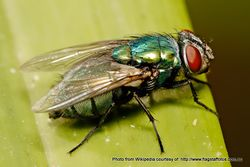 Phil Bendle Collection:Fly (Australian sheep blowfly) Lucilia cuprina