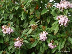 Phil Bendle Collection:Luculia gratissima (Pink Swa)