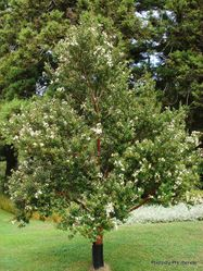 Phil Bendle Collection:Luma apiculata (Chilean myrtle)