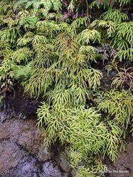 Phil Bendle Collection:Lycopodium volubile (Climbing Clubmoss)