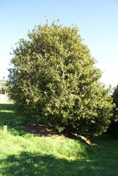 Phil Bendle Collection:Macadamia integrifolia (Macadamia)