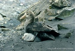 Phil Bendle Collection:Petrel (Southern giant petrel) Macronectes giganteus