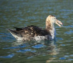 Phil Bendle Collection:Petrel (Northern giant petrel (Macronectes halli)