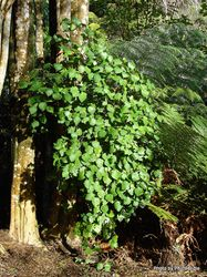 Phil Bendle Collection:Piper excelsum (Kawakawa)