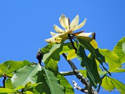 Phil Bendle Collection:Magnolia obovata (Japanese bigleaf magnolia)