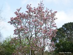 Phil Bendle Collection:Magnolia × soulangeana (Saucer magnolia)