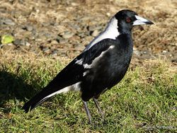 Phil Bendle Collection:Magpie (Cracticus tibicen)