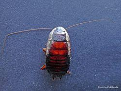 Phil Bendle Collection:Cockroach (Gisborne) Drymaplaneta semivitta .