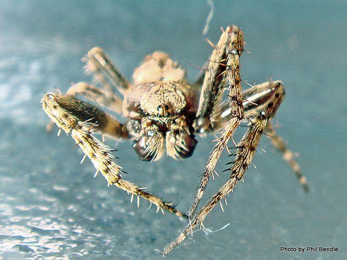 Male Garden Orbweb Spider Eriophora pustulosa -002.JPG