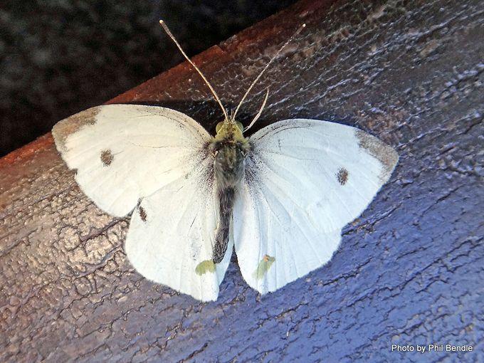 Male Pieris rapae White Butterfly.JPG