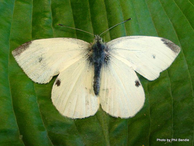 Male Pieris rapae male white butterfly.JPG