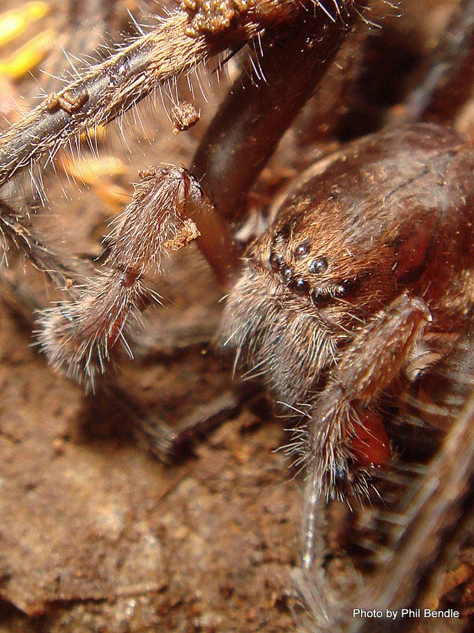 Male Vagrant spider Uliodon spp-001.JPG