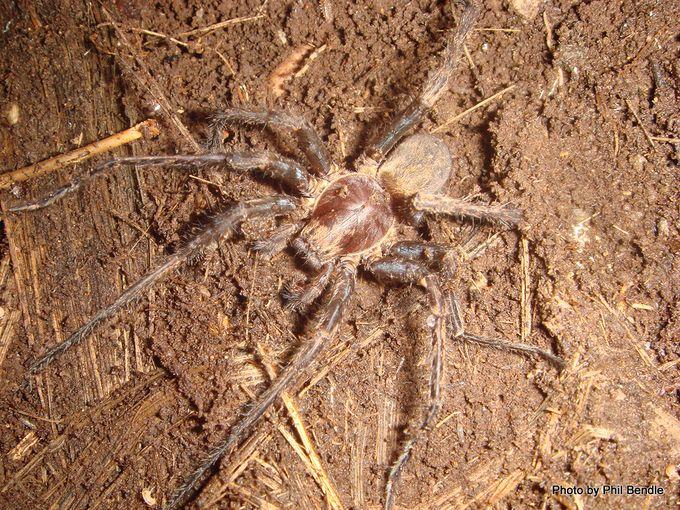 Male Vagrant spider Uliodon spp.JPG