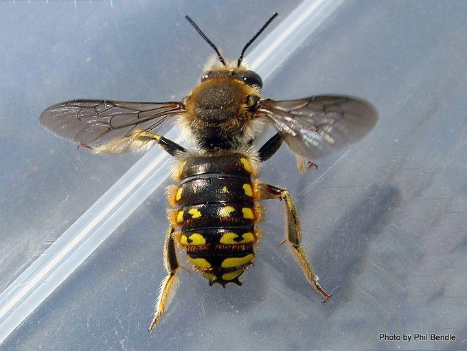 Male Wool carder bee Anthidium manicatum-001.JPG