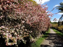 Phil Bendle Collection:Malus floribunda (Japanese crab apple)
