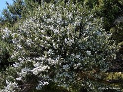 Phil Bendle Collection:Leptospermum scoparium (Manuka)
