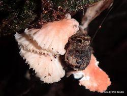 Phil Bendle Collection:Marasmius species (Unidentified 1)