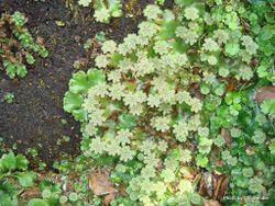 Phil Bendle Collection:Marchantia berteroana (Umbrella liverwort)