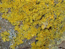 Phil Bendle Collection:Xanthoria parietina (Maritime sunburst lichen)