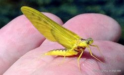 Phil Bendle Collection:Mayfly (Ameletopsis perscitus) Yellow dun
