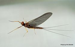 Phil Bendle Collection:Mayflies (Order Ephemeroptera)