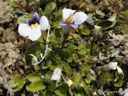 Phil Bendle Collection:Mazus radicans (Swamp Musk)