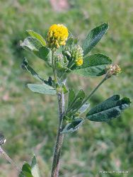 Phil Bendle Collection:Medicago lupulina (Black medick)