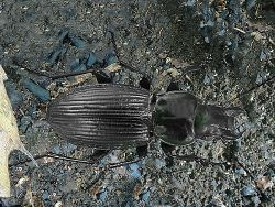 Phil Bendle Collection:Beetle (Ground) Megadromus capito
